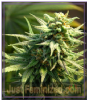 Big Head Buzz 'n' Smiles Female 10 Marijuana Seeds